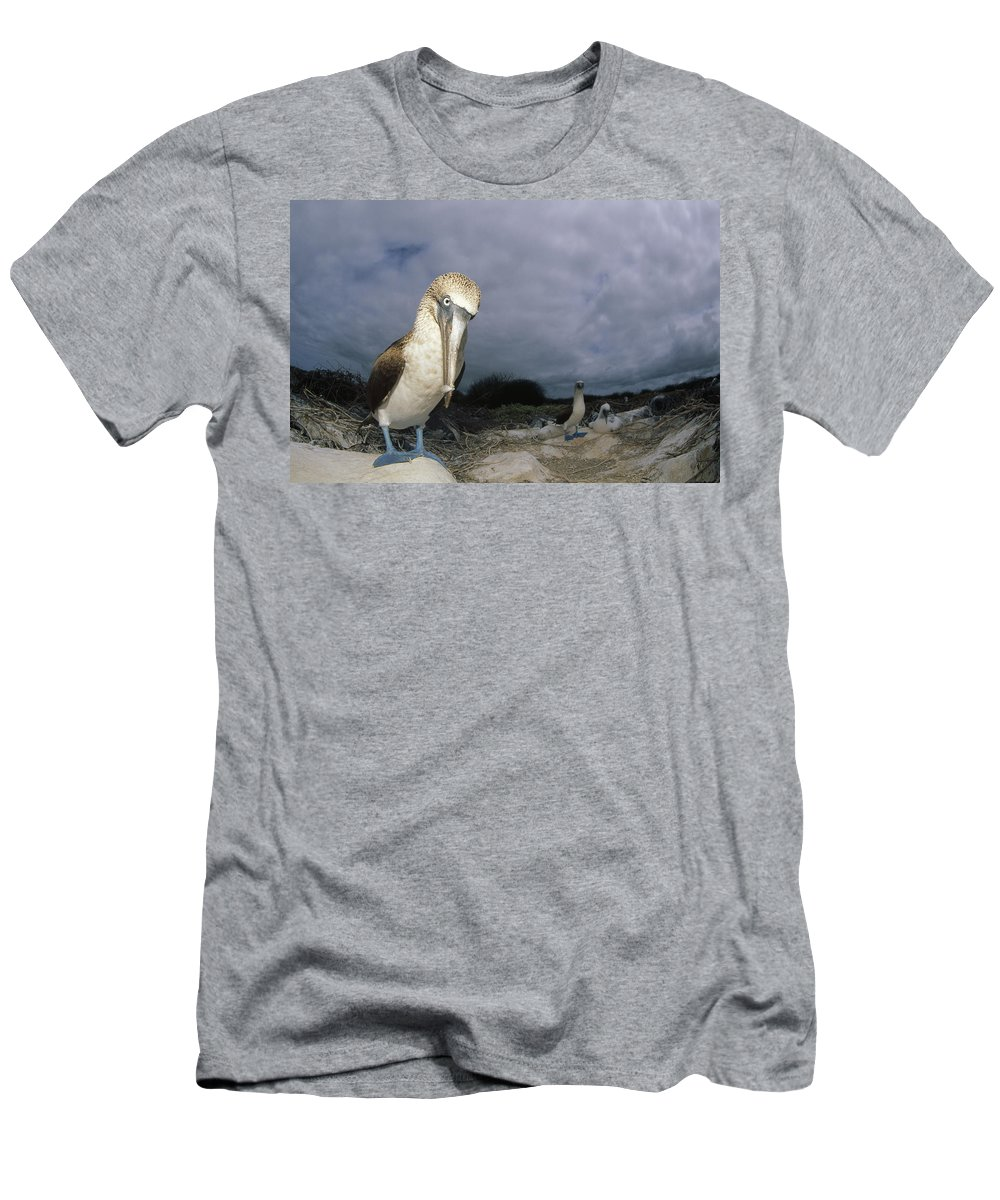 Feb0514 Men's T-Shirt (Athletic Fit) featuring the photograph Blue-footed Booby Galapagos Islands by Tui De Roy