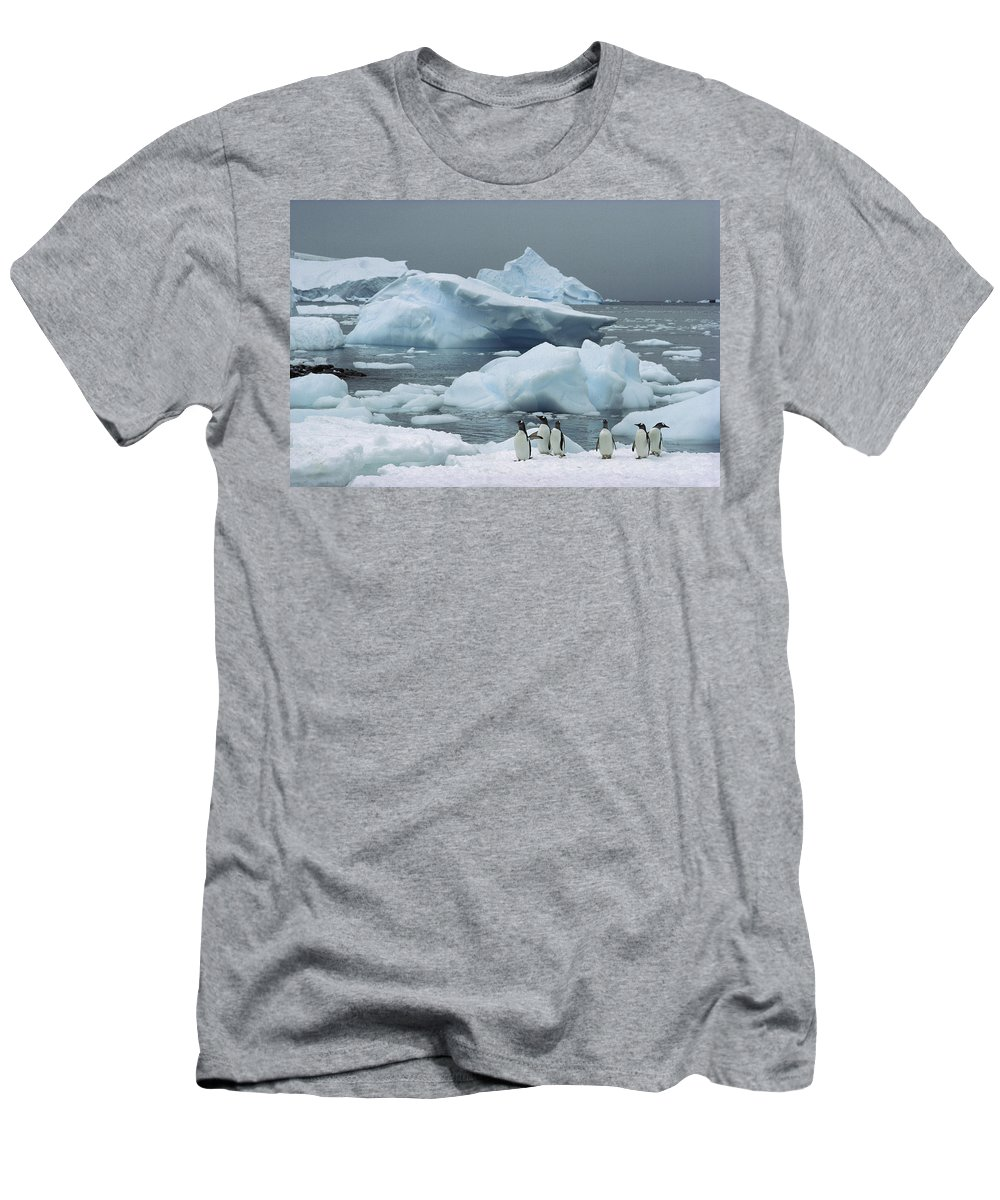 Feb0514 Men's T-Shirt (Athletic Fit) featuring the photograph Gentoo Penguins With Icebergs Antarctica by Tui De Roy