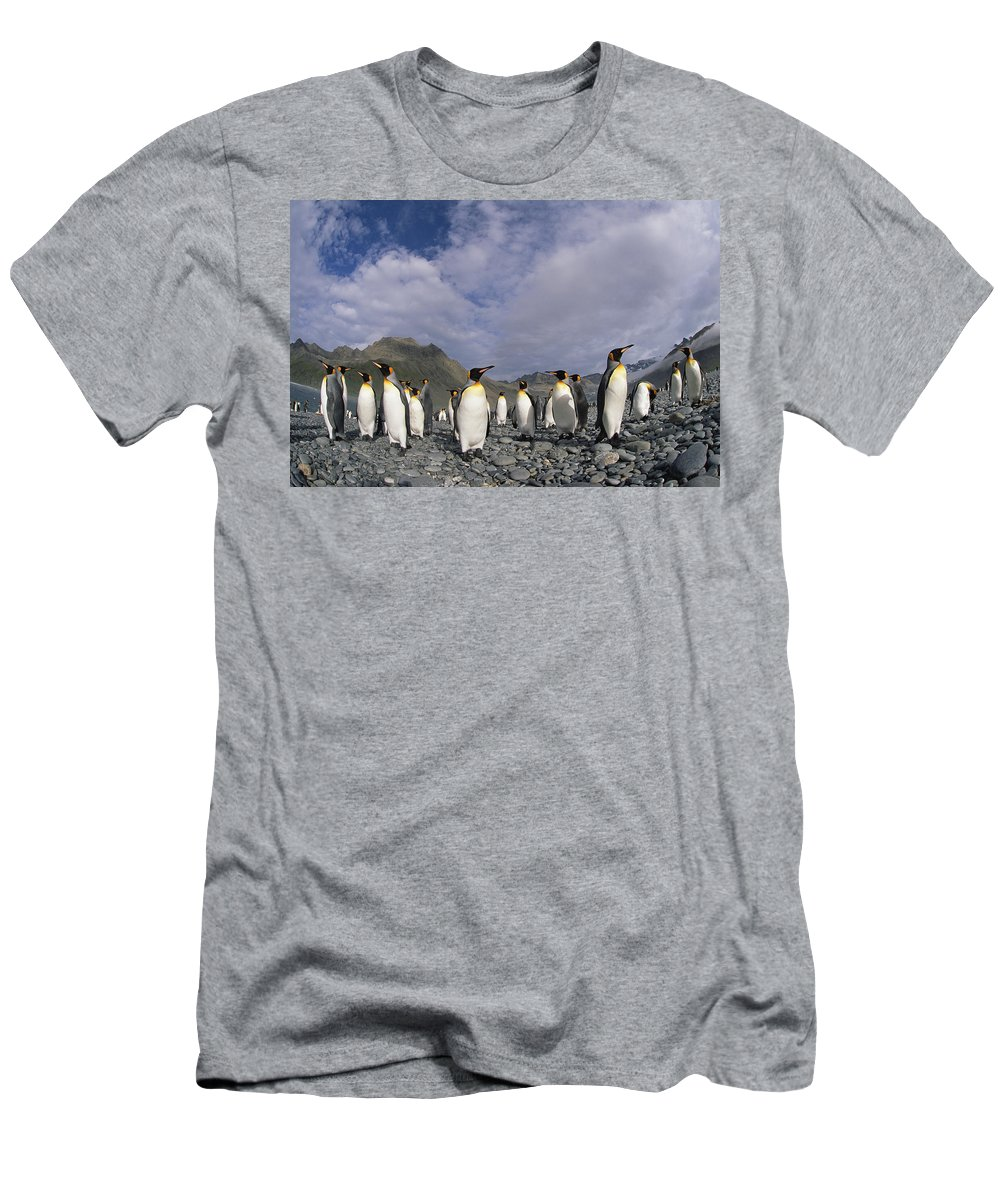 Feb0514 Men's T-Shirt (Athletic Fit) featuring the photograph King Penguins On Rocky Beach South by Colin Monteath