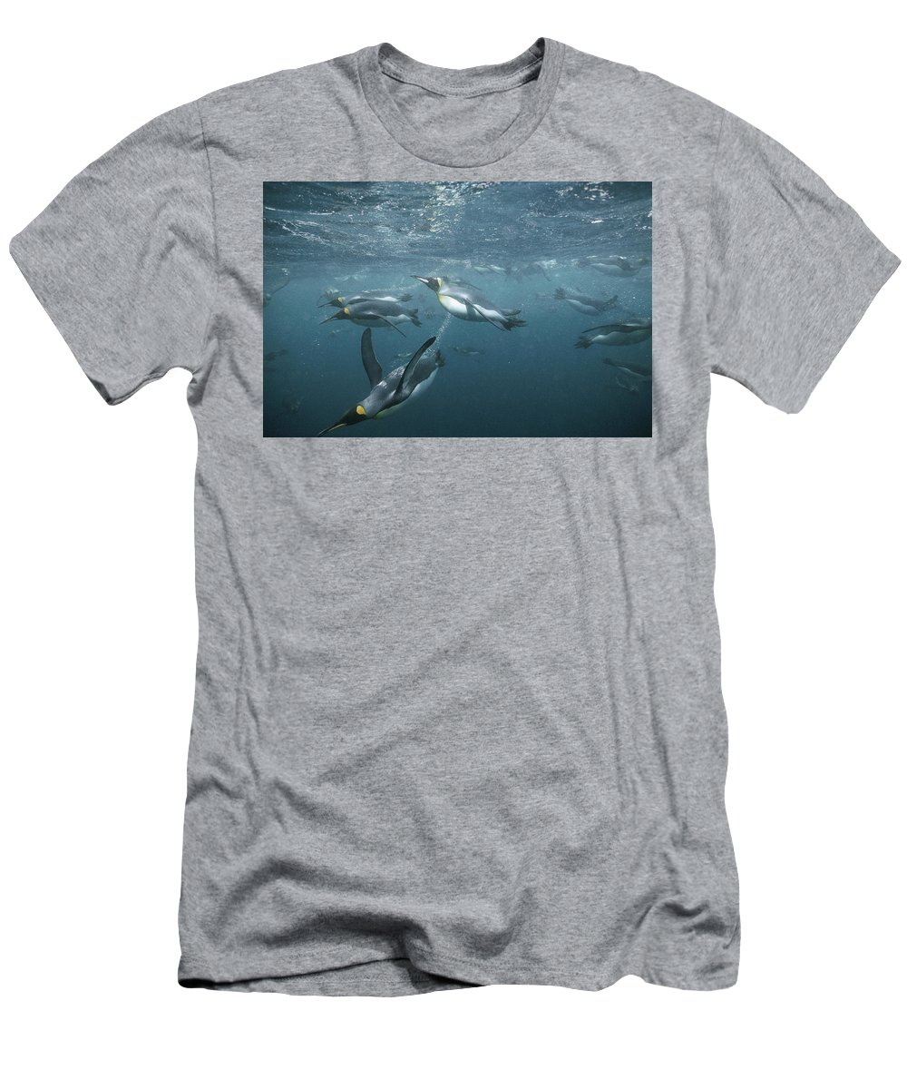 Feb0514 Men's T-Shirt (Athletic Fit) featuring the photograph King Penguins Swimming Macquarie Isl by Tui De Roy