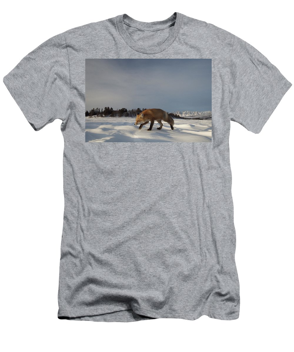 Feb0514 Men's T-Shirt (Athletic Fit) featuring the photograph Red Fox Walking In Snow Alaska by Michael Quinton