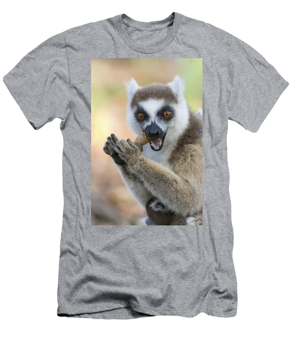 Feb0514 Men's T-Shirt (Athletic Fit) featuring the photograph Ring-tailed Lemur Cracking Seed Pod by Suzi Eszterhas