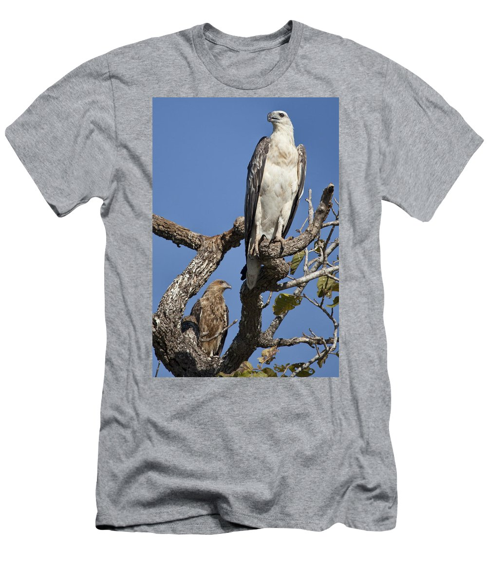 Sea Eagle Men's T-Shirt (Athletic Fit) featuring the photograph Sea Eagle And Brown Kite Sharing A Tree by Douglas Barnard