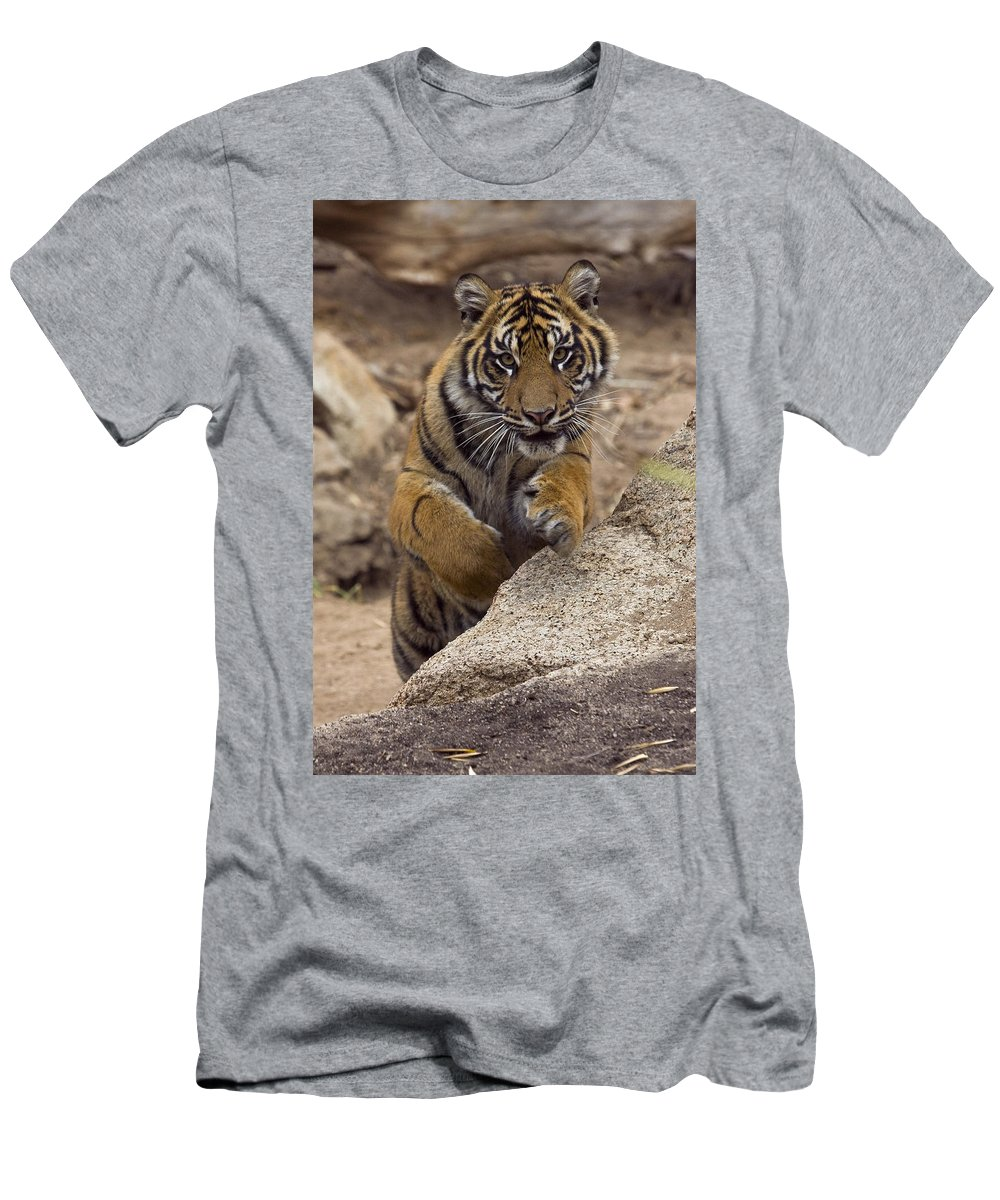 Feb0514 Men's T-Shirt (Athletic Fit) featuring the photograph Sumatran Tiger Cub Jumping Onto Rock by San Diego Zoo