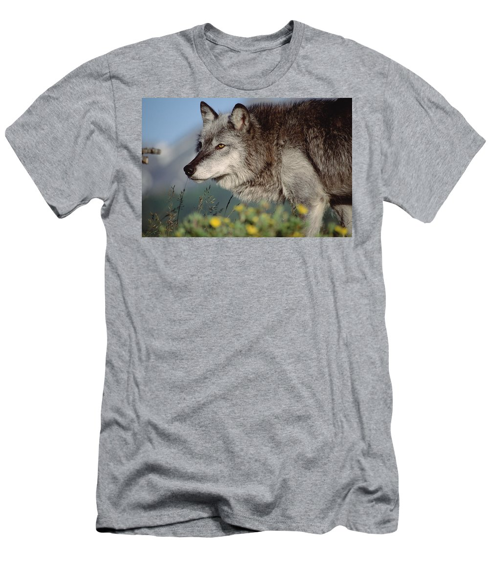 Feb0514 Men's T-Shirt (Athletic Fit) featuring the photograph Timber Wolf Adult Portrait North America by Tim Fitzharris