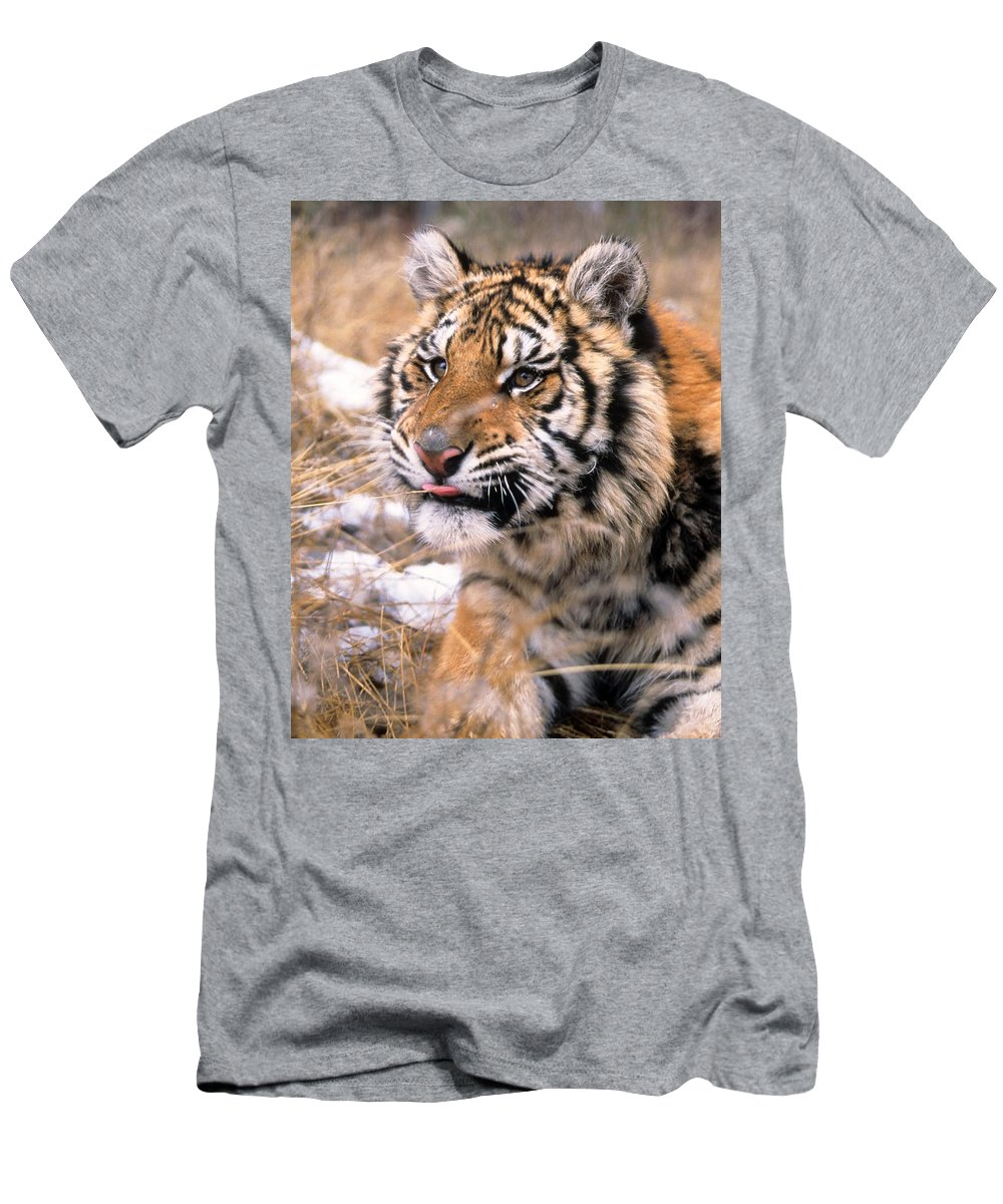 Siberian Tiger Men's T-Shirt (Athletic Fit) featuring the photograph Siberian Tiger by Larry Allan