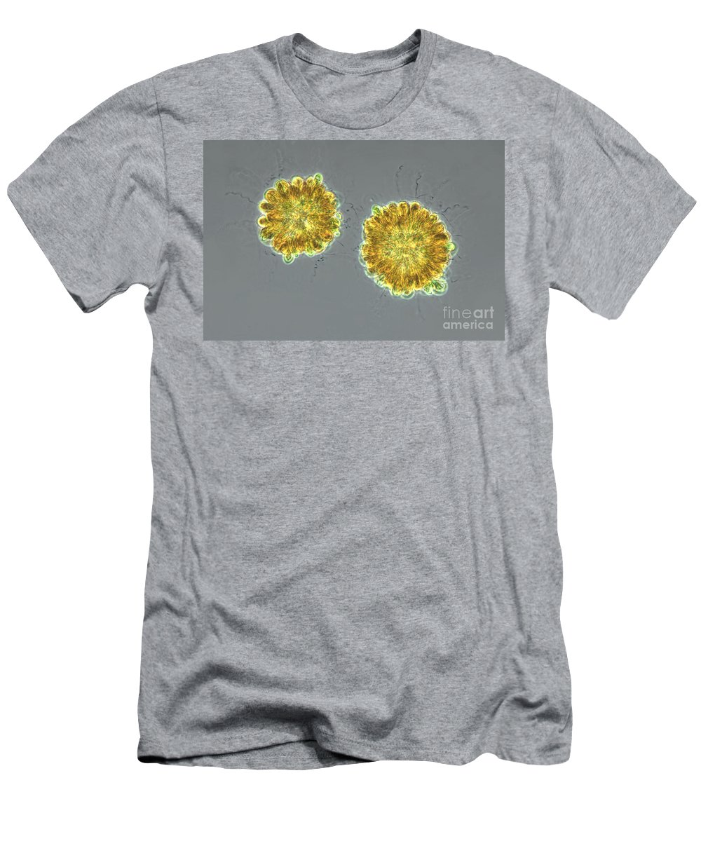 Synura Colonies Men's T-Shirt (Athletic Fit) featuring the photograph Synura Uvella Colonies, Lm by M. I. Walker