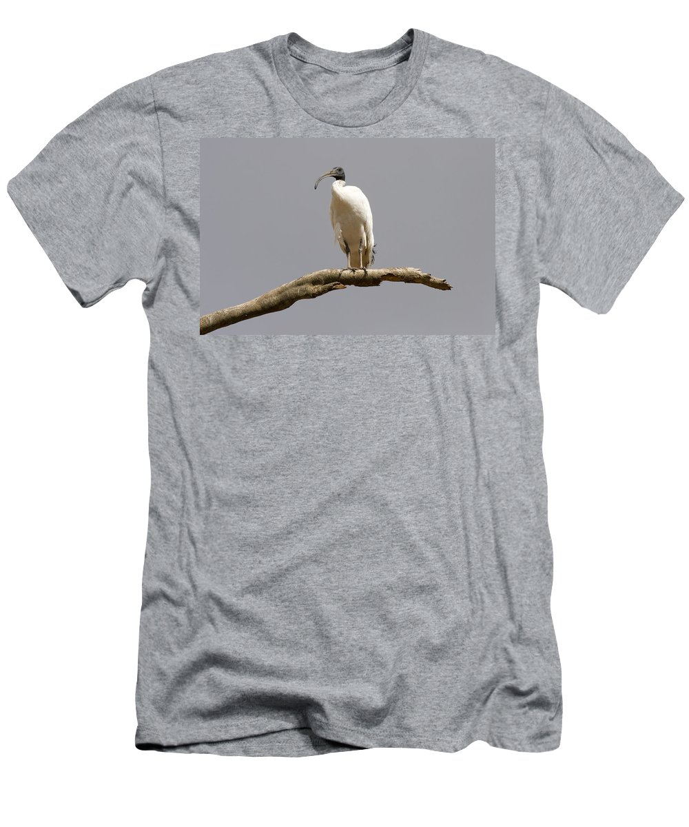 Ibis Men's T-Shirt (Athletic Fit) featuring the photograph Australian White Ibis Perched by Mike Dawson