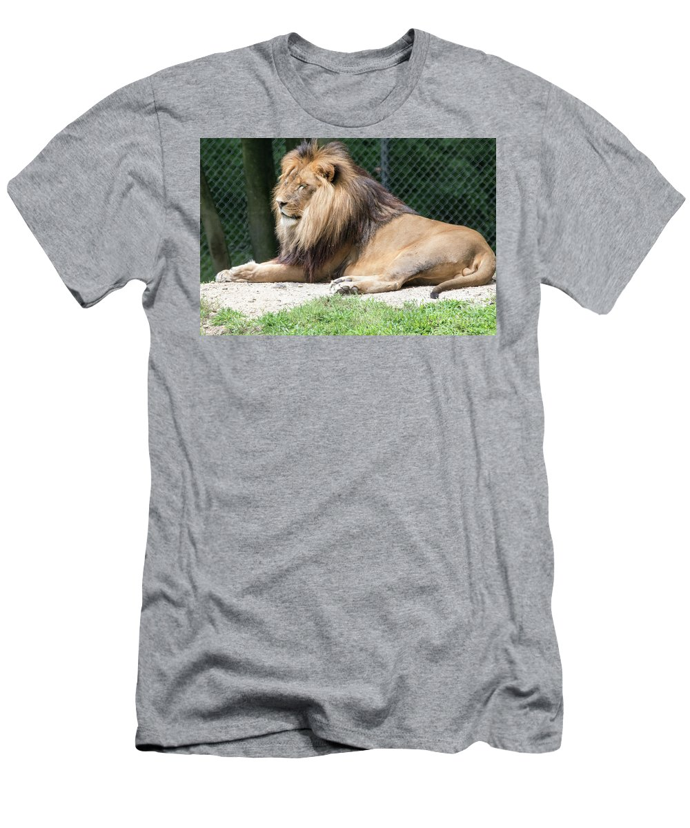 Lion Men's T-Shirt (Athletic Fit) featuring the photograph Nappin' Lion by Tom Horsch Photography