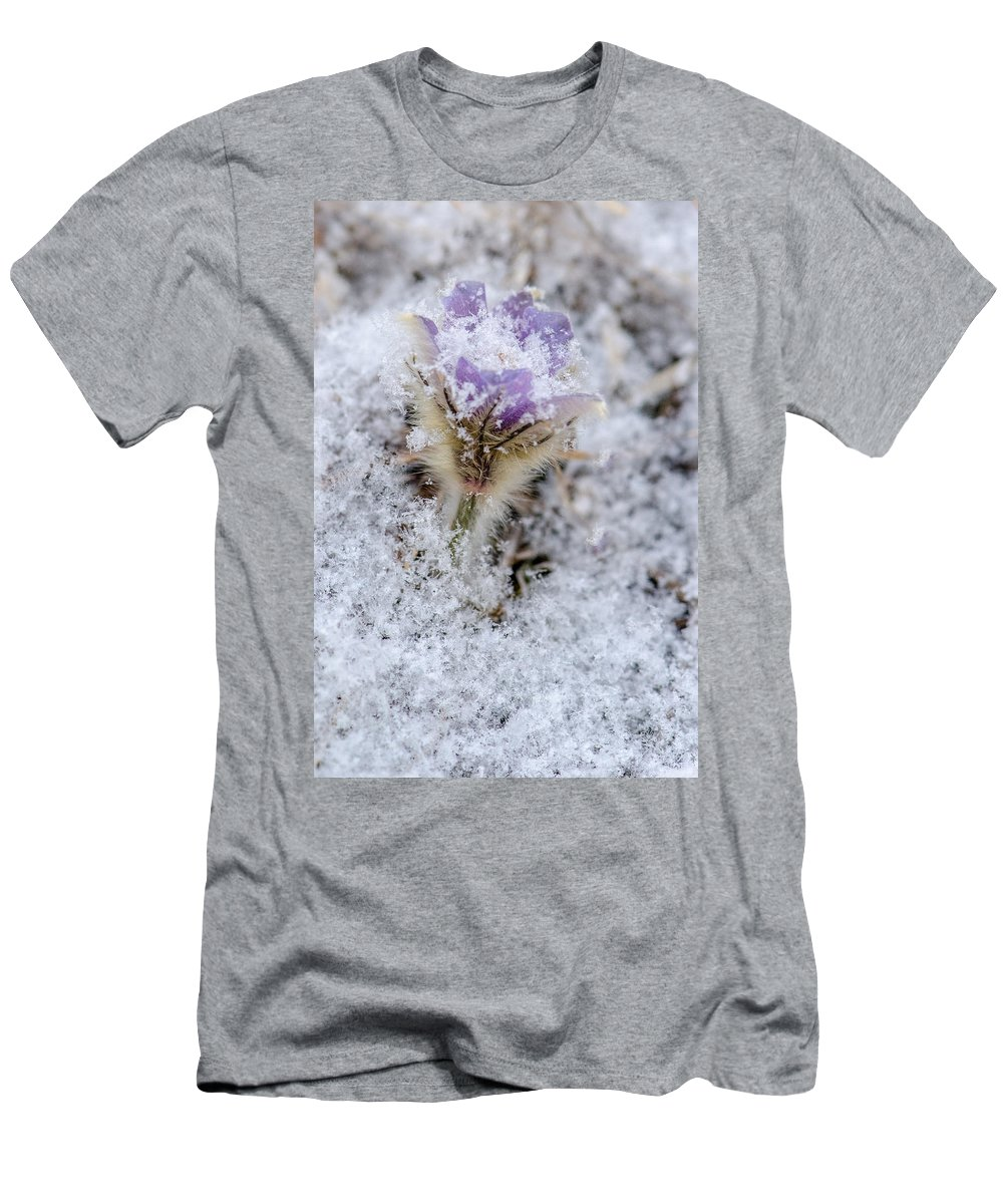 Dakota Men's T-Shirt (Athletic Fit) featuring the photograph Snowy Pasqueflower Morning by Dakota Light Photography By Dakota