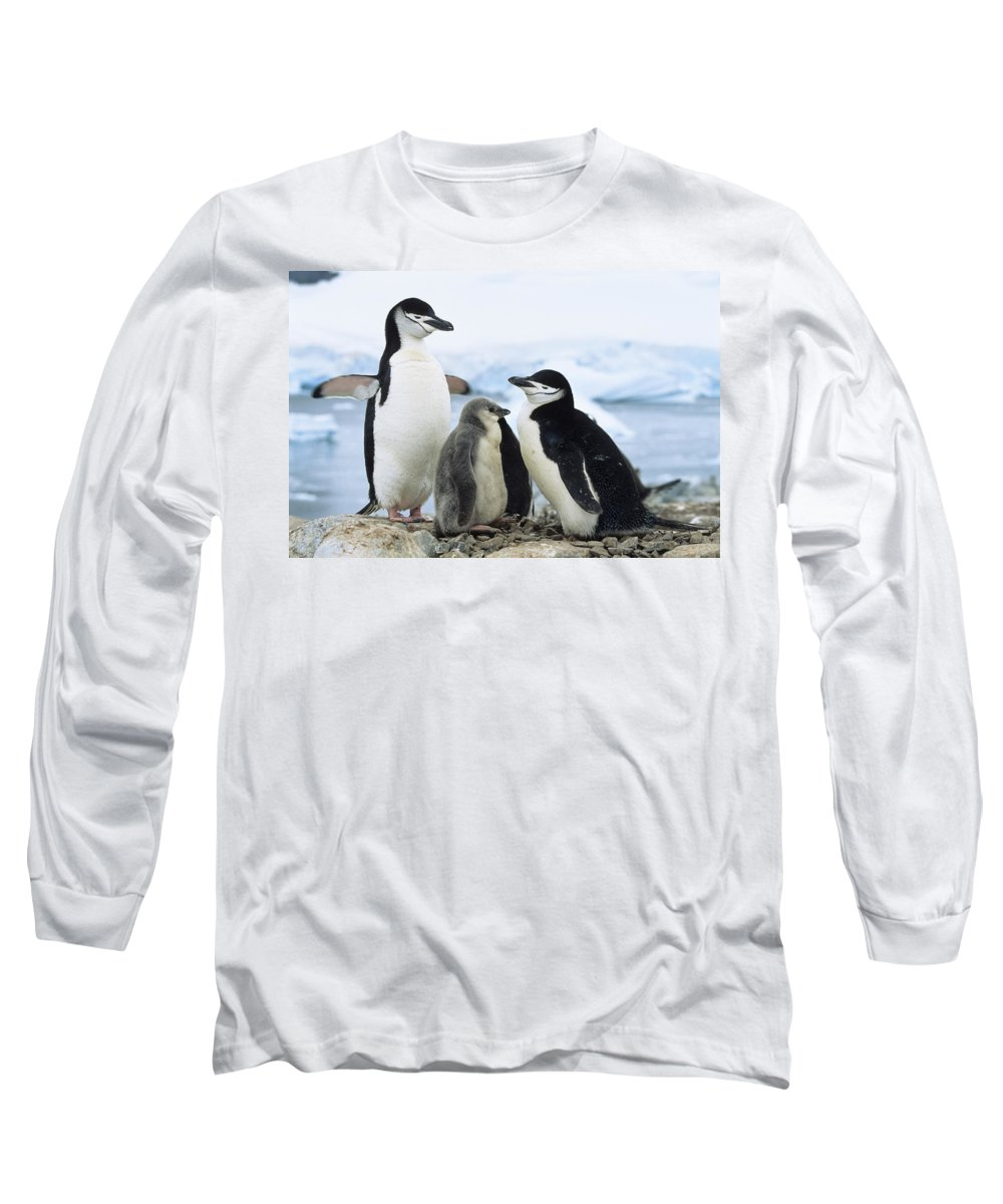 Feb0514 Long Sleeve T-Shirt featuring the photograph Chinstrap Penguins And Chicks Antarctica by Konrad Wothe
