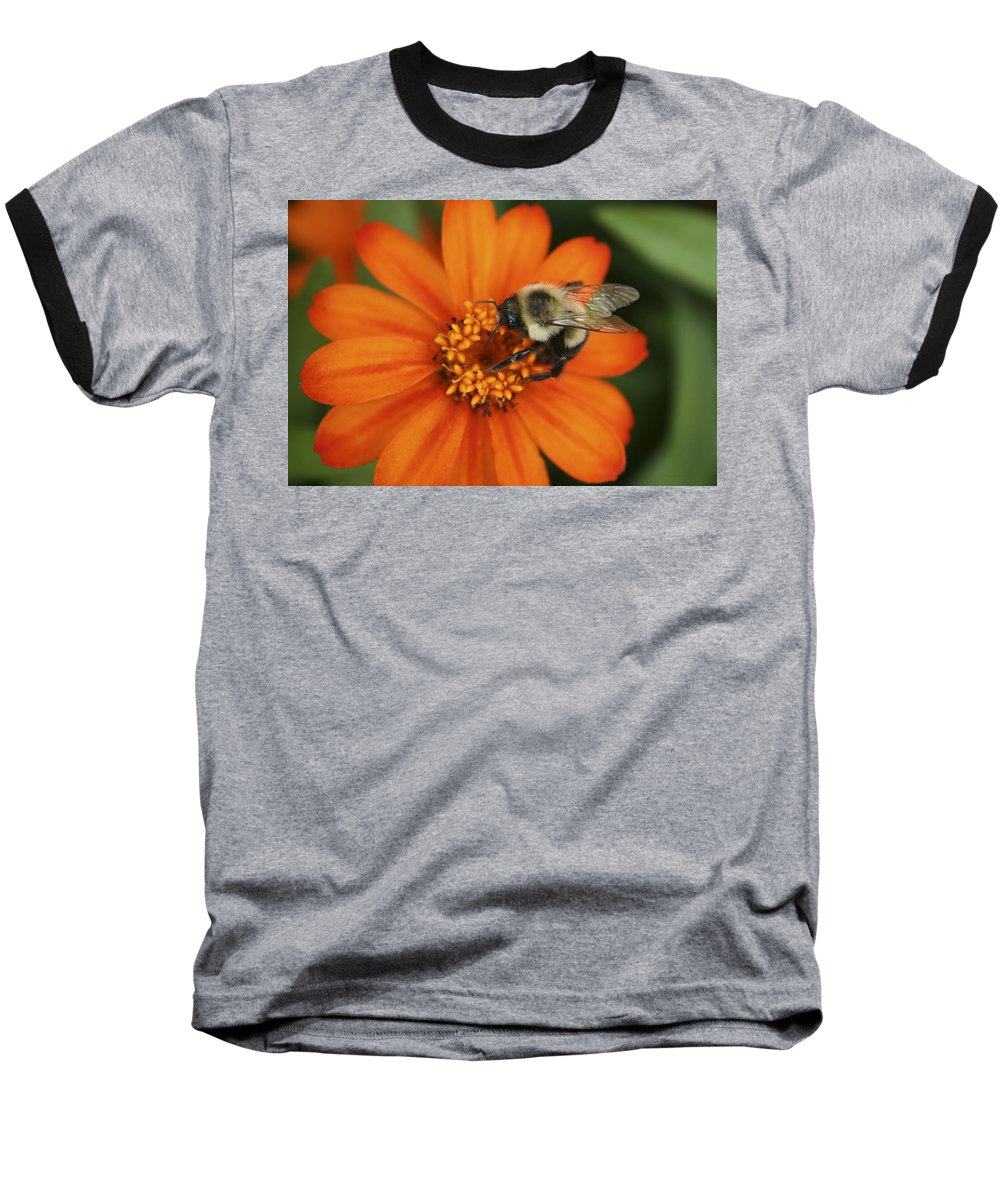 Bee Baseball T-Shirt featuring the photograph Bee On Aster by Margie Wildblood