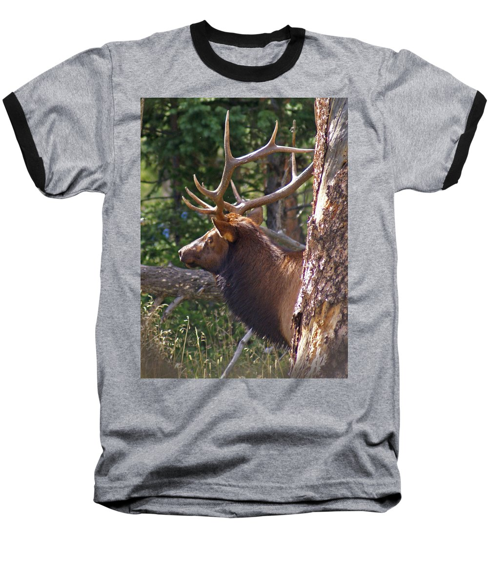 Elk Baseball T-Shirt featuring the photograph Bull Elk 2 by Heather Coen