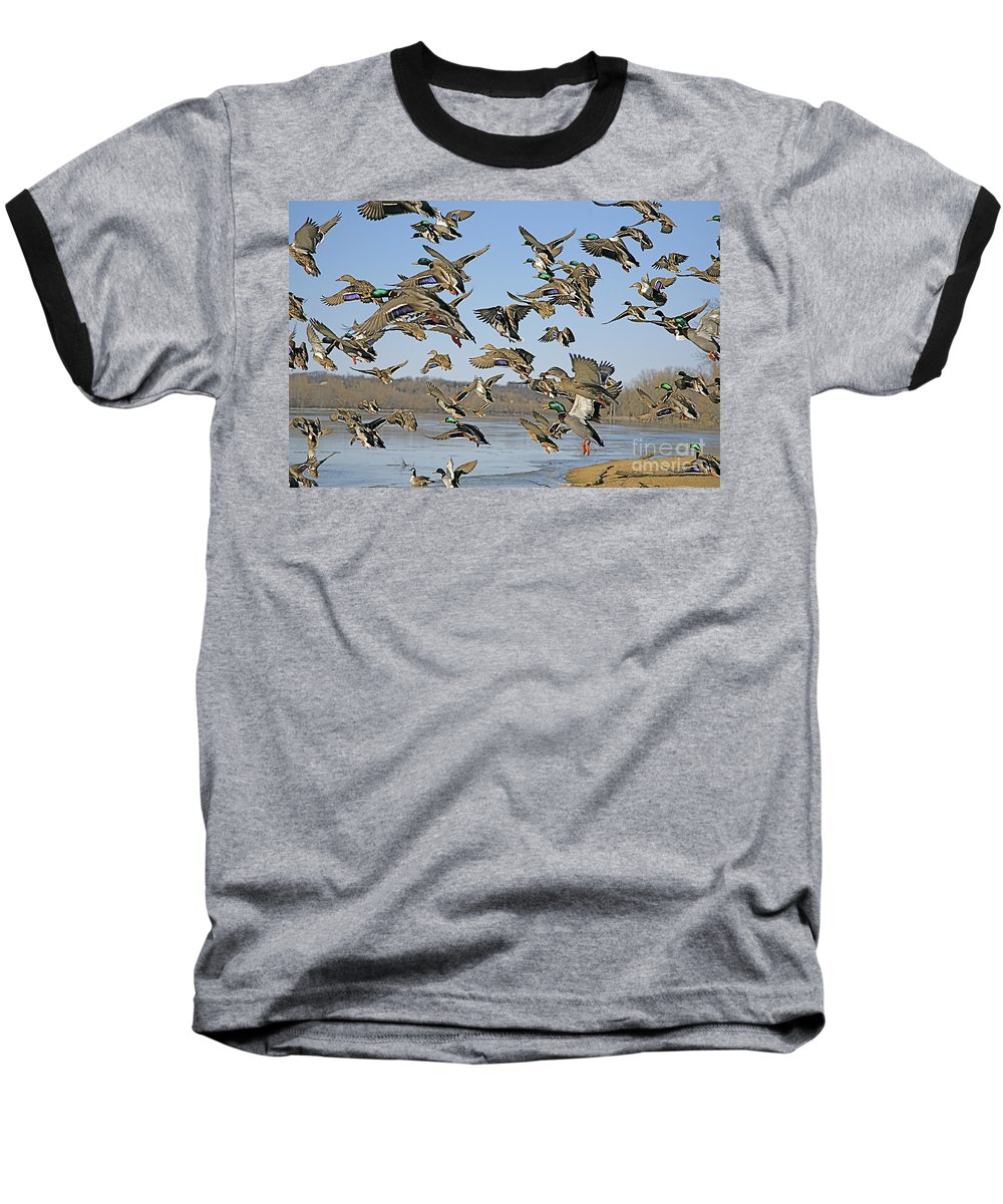 Ducks Baseball T-Shirt featuring the photograph The Mad Rush by Robert Pearson