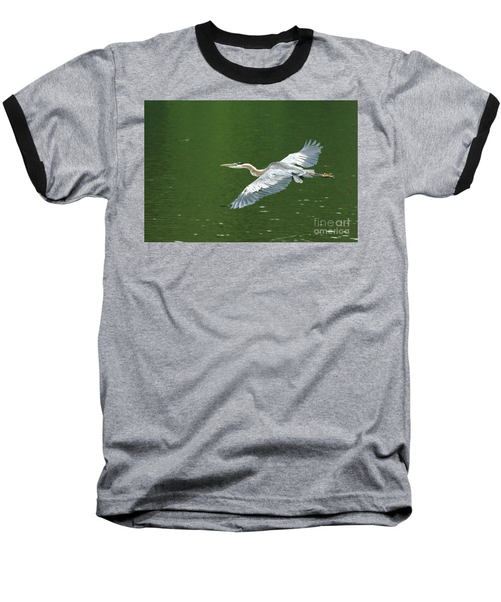 Landscape Nature Wildlife Bird Crane Heron Green Flight Ohio Water Baseball T-Shirt featuring the photograph Young Great Blue Heron Taking Flight by Dawn Downour