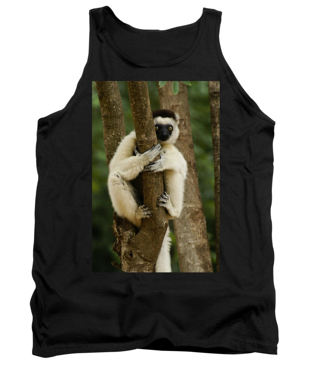 Madagascar Tank Top featuring the photograph Verreaux's Sifaka by Michele Burgess