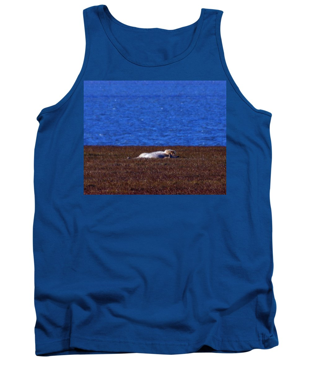 Polar Bear Tank Top featuring the photograph Polar Bear Rolling In Tundra Grass by Anthony Jones