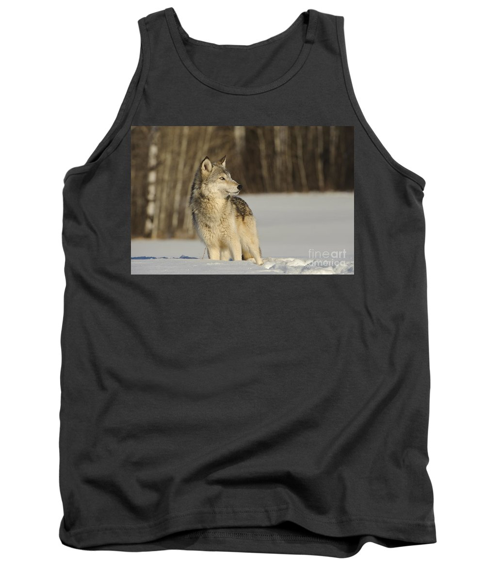 Canis Lupus Tank Top featuring the photograph Wolf In Winter by John Shaw