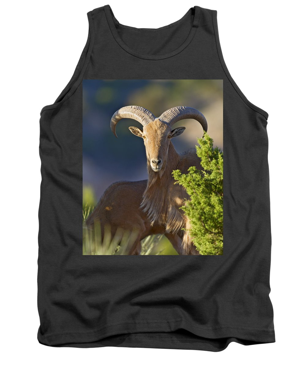 Barbary Tank Top featuring the photograph Auodad Ram On Watch by Gary Langley