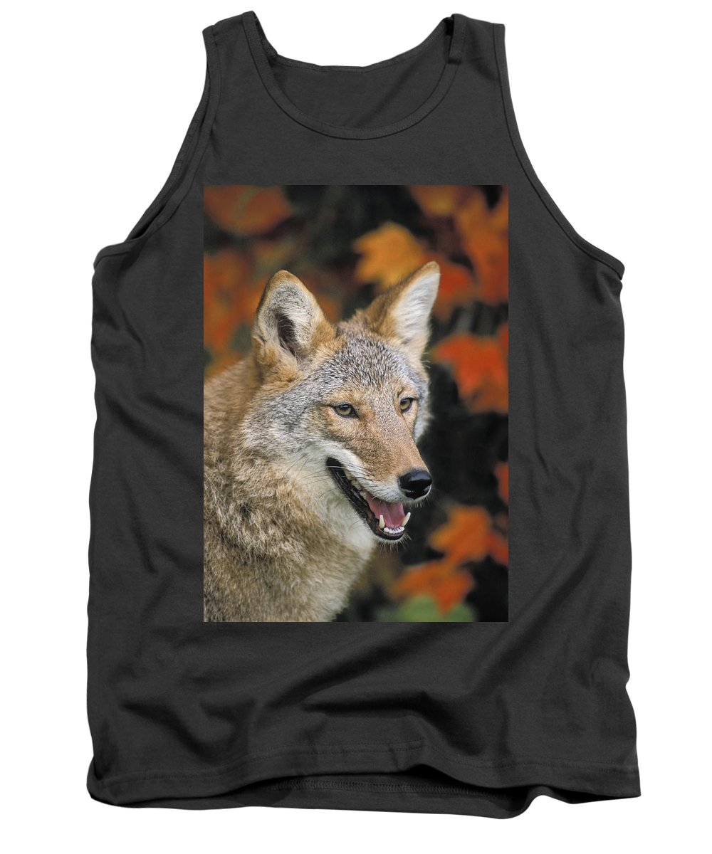 Aloneness Tank Top featuring the photograph Coyote In Maple by Thomas Kitchin and Victoria Hurst