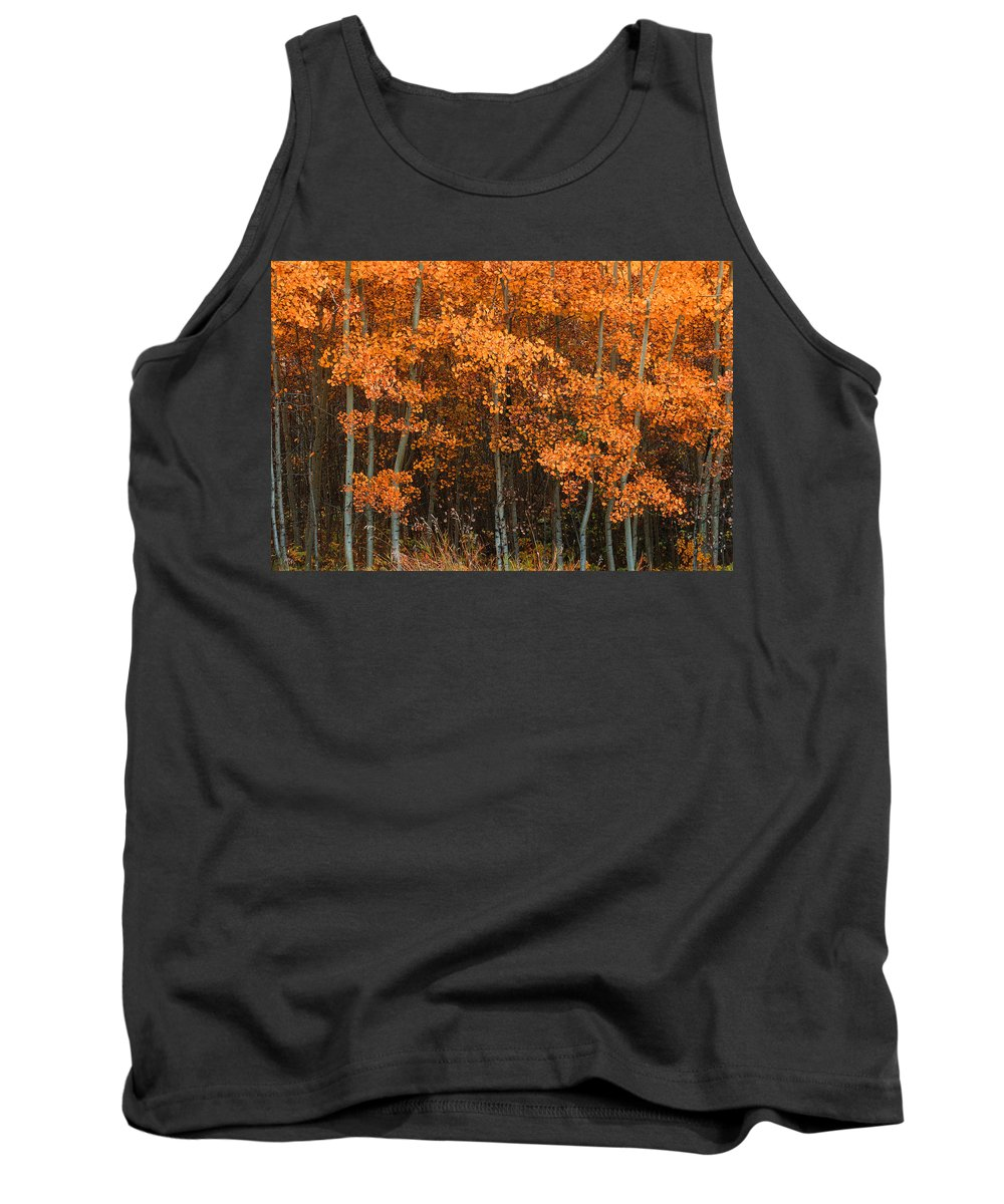 Autumn Tank Top featuring the photograph Deciduous Aspen Forest In Fall by Corey Hochachka