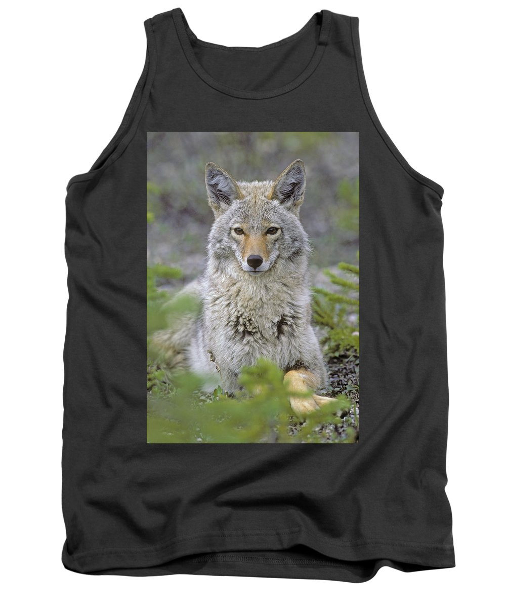 Tank Top featuring the photograph Tk0607, Thomas Kitchin Coyote In Spring by First Light
