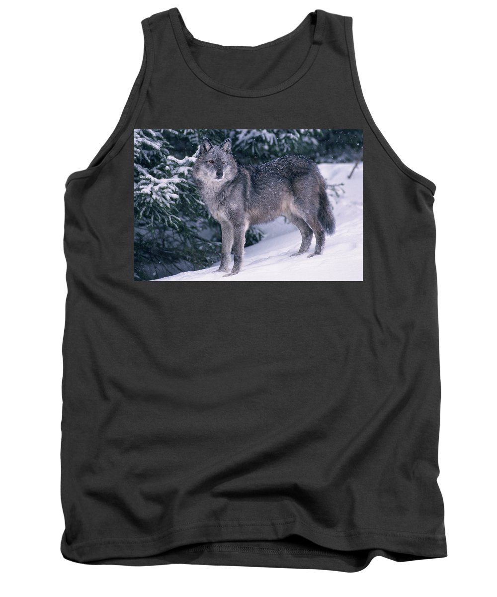 Adulthood Tank Top featuring the photograph T.kitchin, 19821c Gray Wolf, Winter by First Light