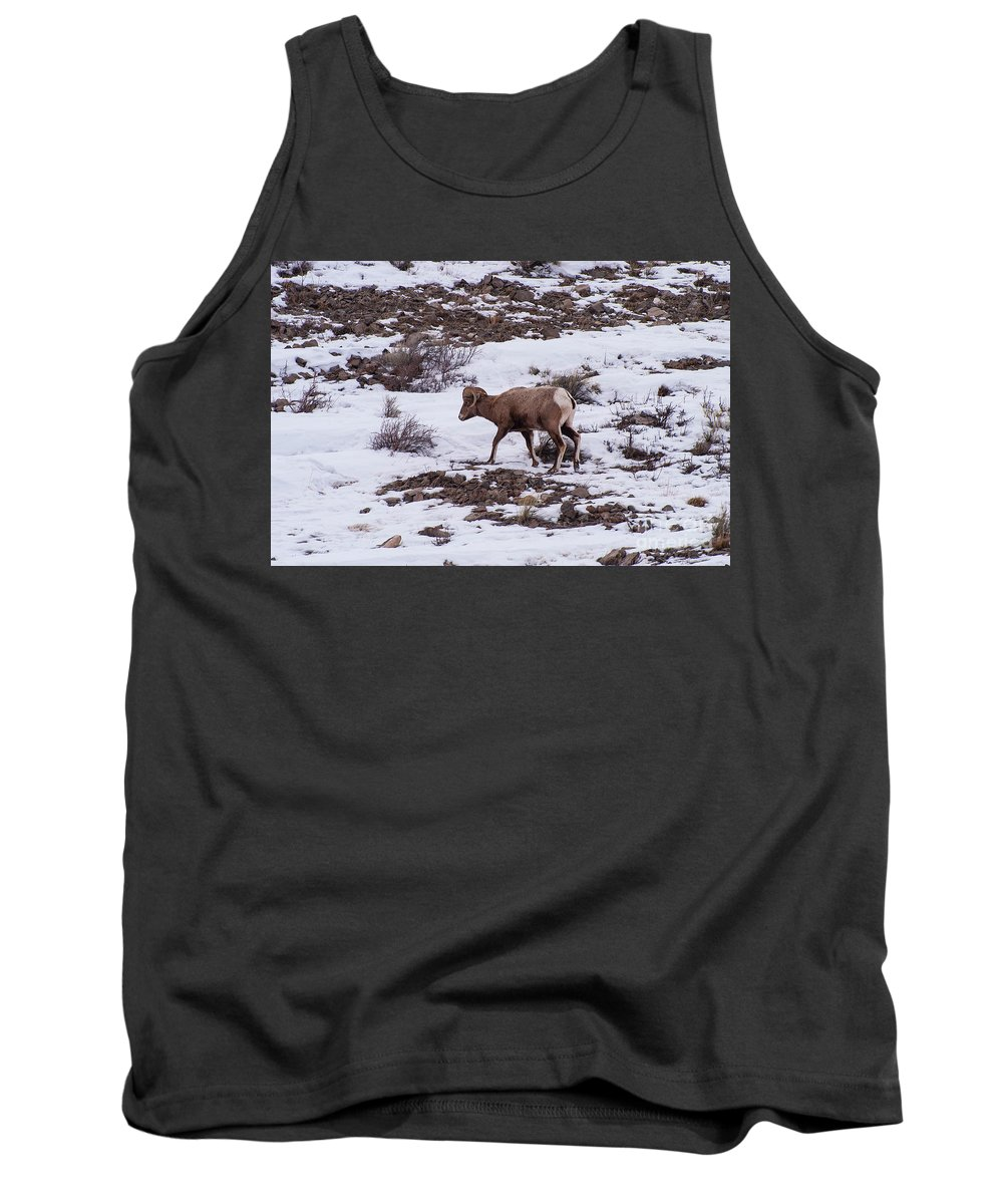 Big Horn Sheep Tank Top featuring the photograph Big Horn by Bob Phillips