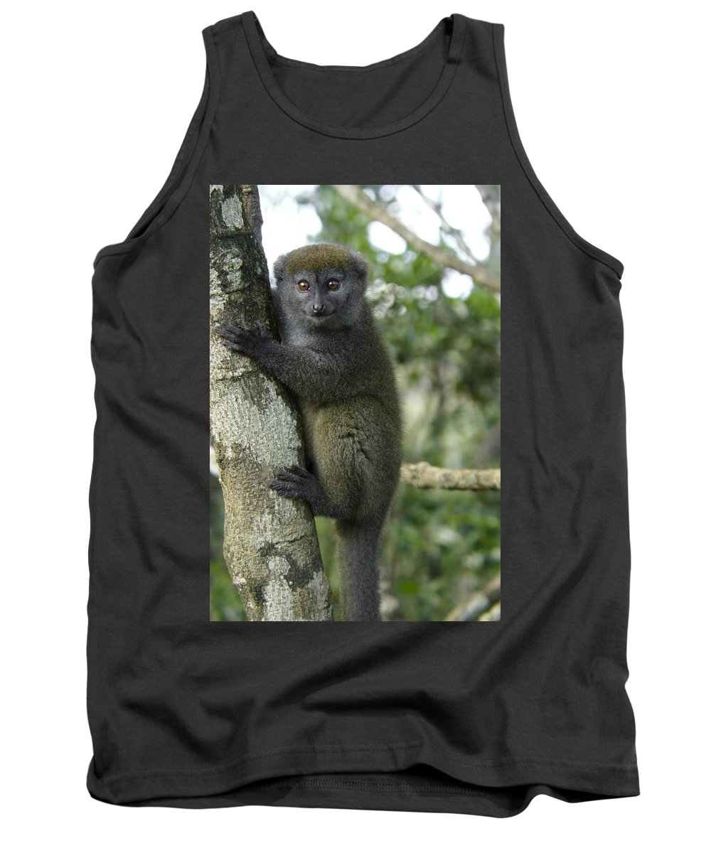 Madagascar Tank Top featuring the photograph Gray Bamboo Lemur by Michele Burgess