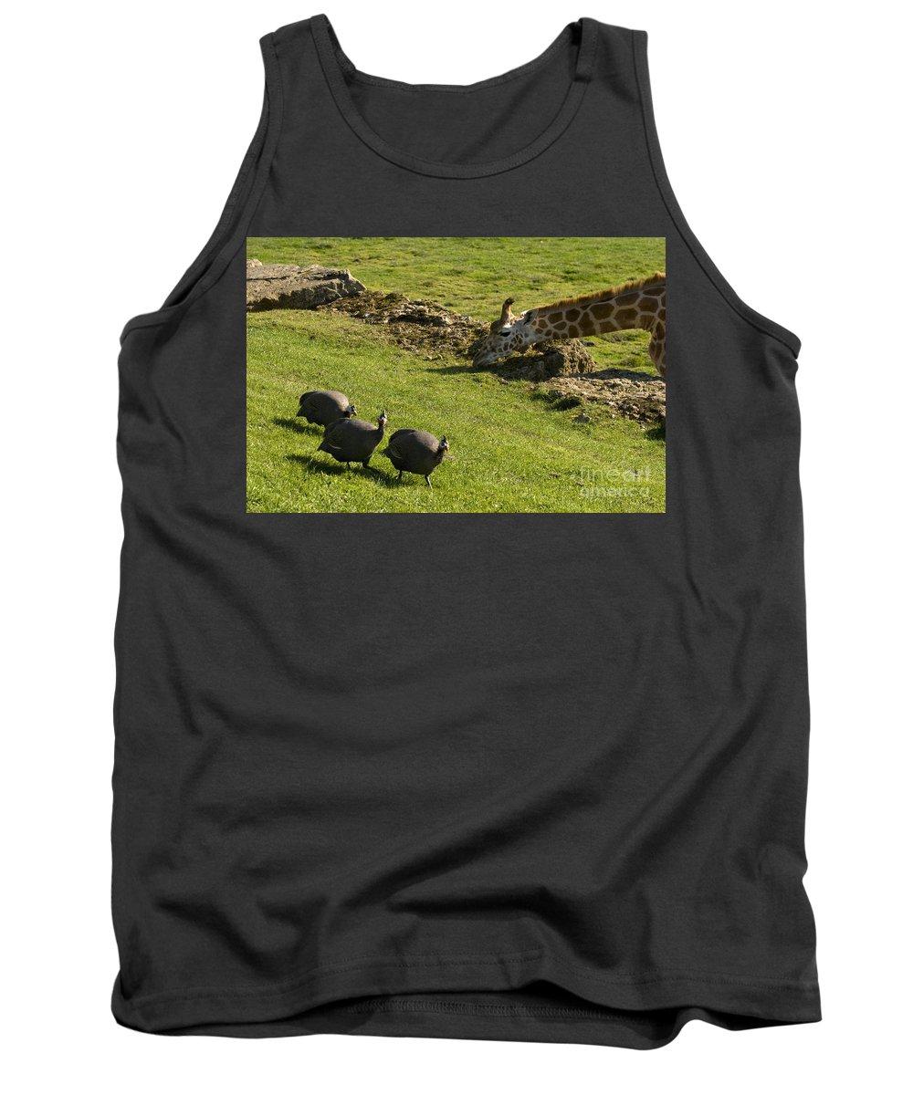Helmeted Guineafowl Tank Top featuring the photograph the Safari park by Angel Ciesniarska