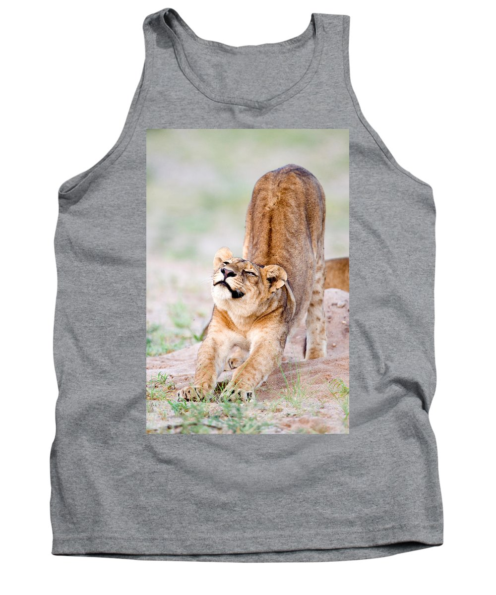 Photography Tank Top featuring the photograph Lioness Panthera Leo Stretching by Panoramic Images