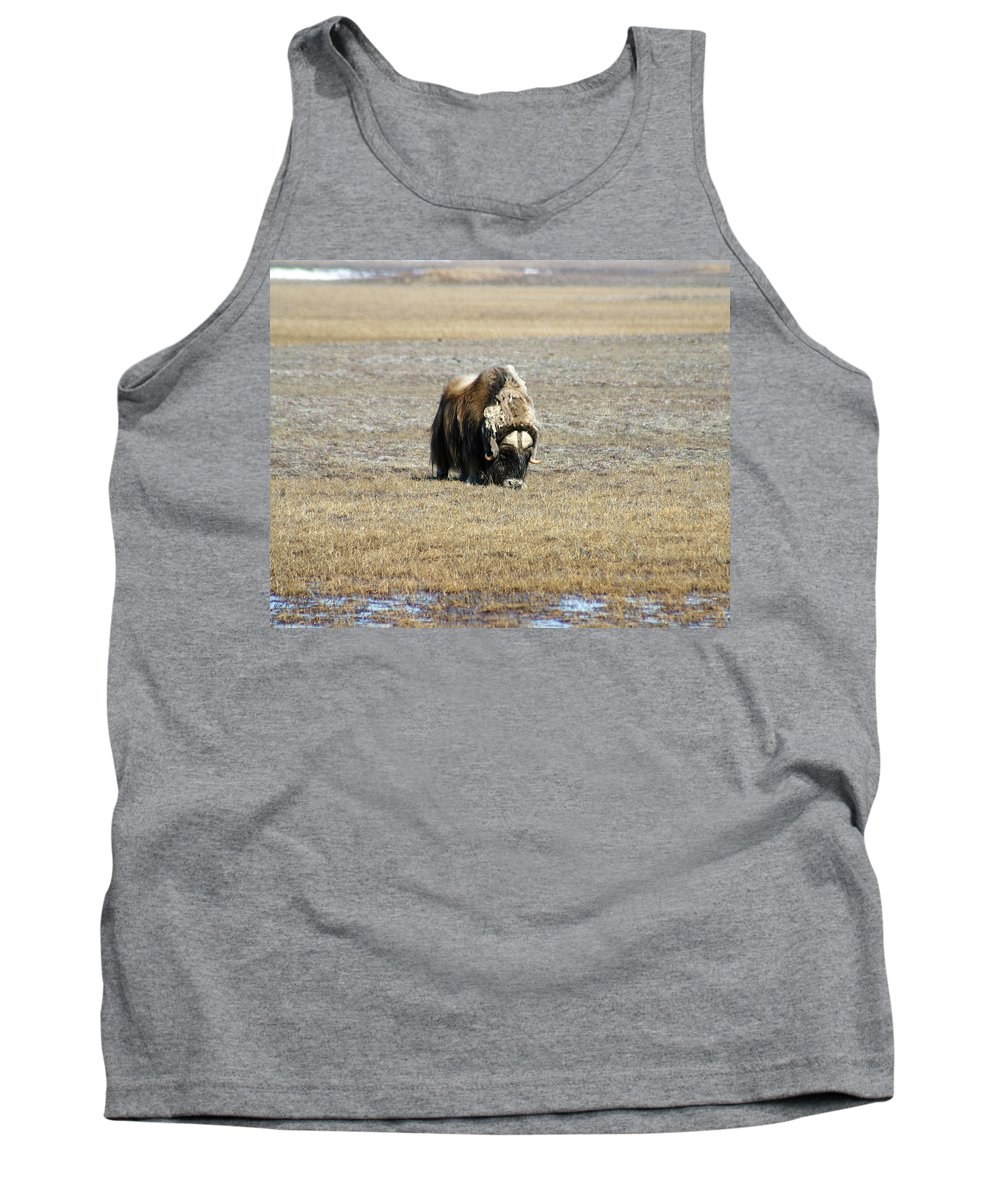 Musk Ox Tank Top featuring the photograph Musk Ox Grazing by Anthony Jones
