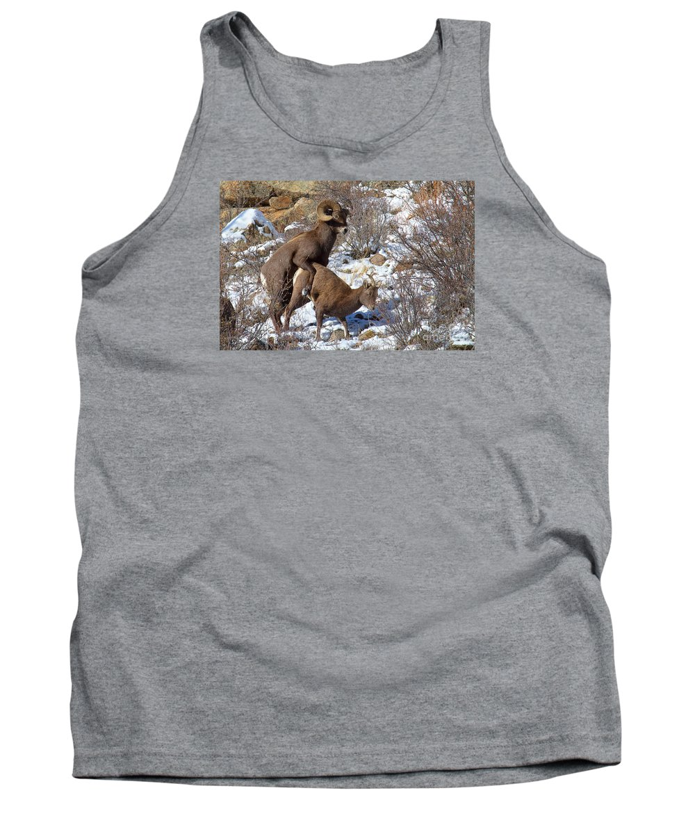 Bighorn Sheep Tank Top featuring the photograph The Coupling by Jim Garrison