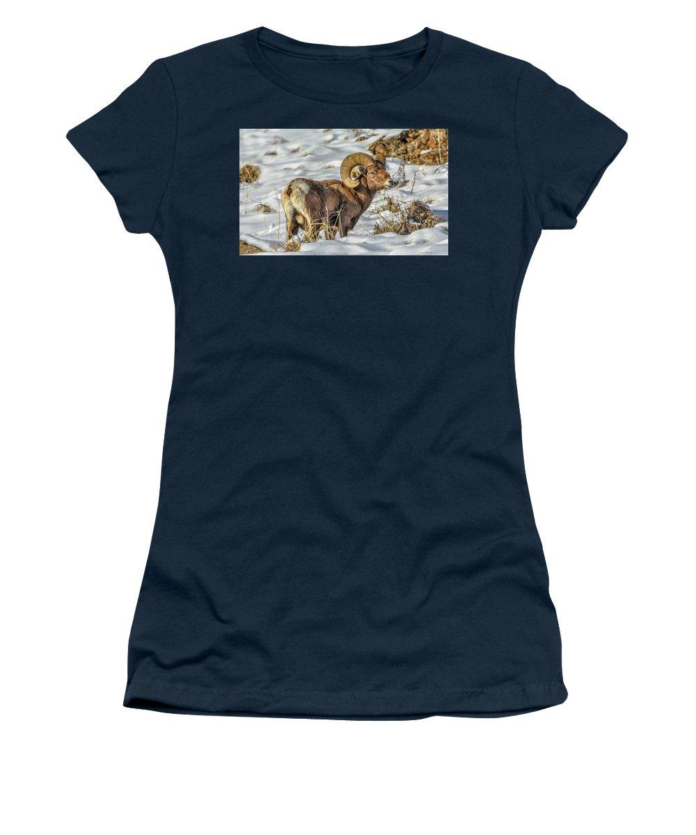 Bighorn Ram Women's T-Shirt featuring the photograph Wintering Bighorn by Jason Brooks