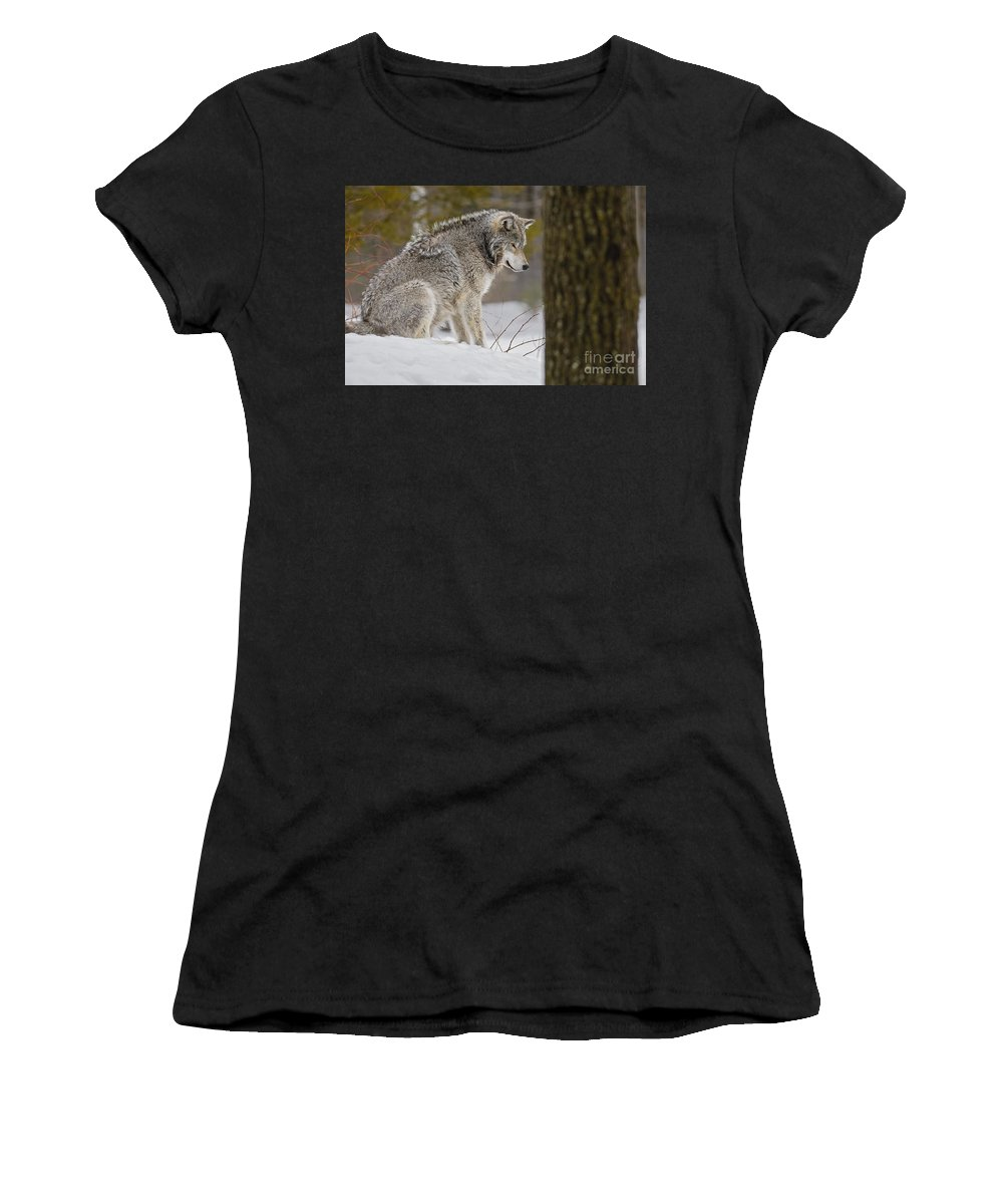 Timber Wolf Photography Women's T-Shirt (Athletic Fit) featuring the photograph Timber Wolf In Snow by Wolves Only