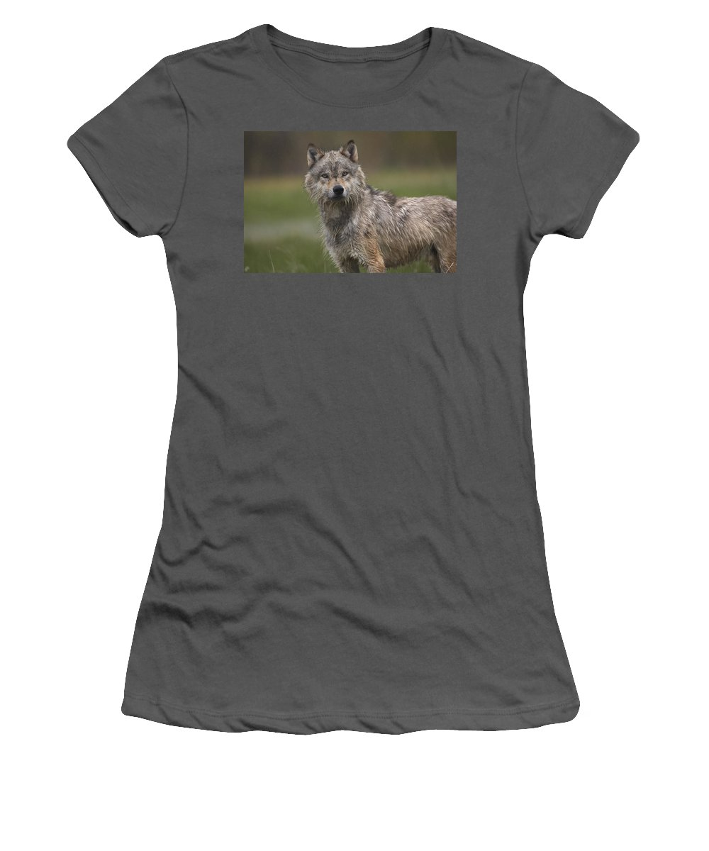 Feb0514 Women's T-Shirt (Athletic Fit) featuring the photograph Gray Wolf North America by Tim Fitzharris