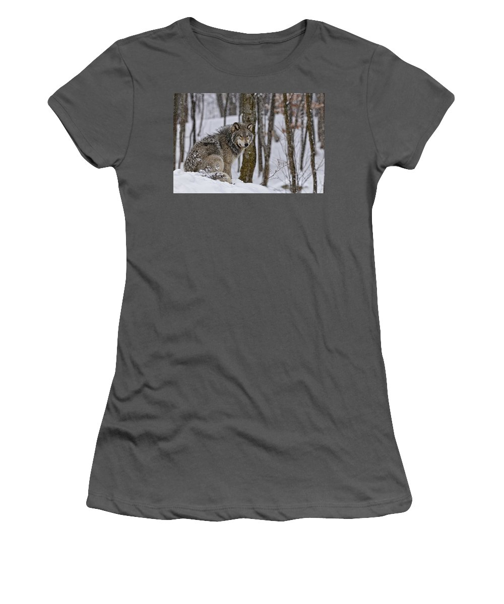Michael Cummings Women's T-Shirt (Athletic Fit) featuring the photograph Timber Wolf In Winter by Michael Cummings
