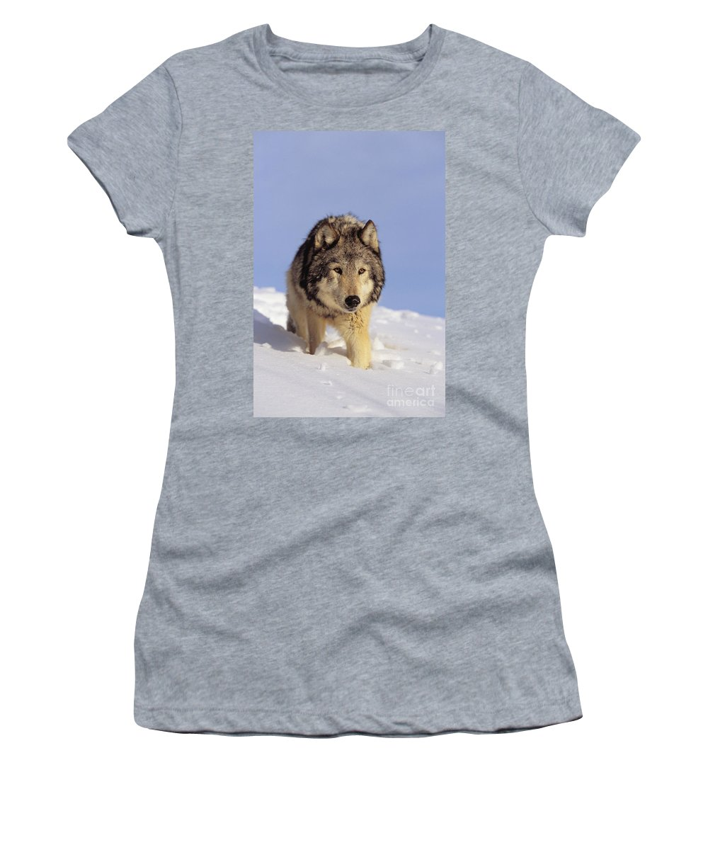 Afternoon Women's T-Shirt (Athletic Fit) featuring the photograph Gray Wolf by John Hyde - Printscapes