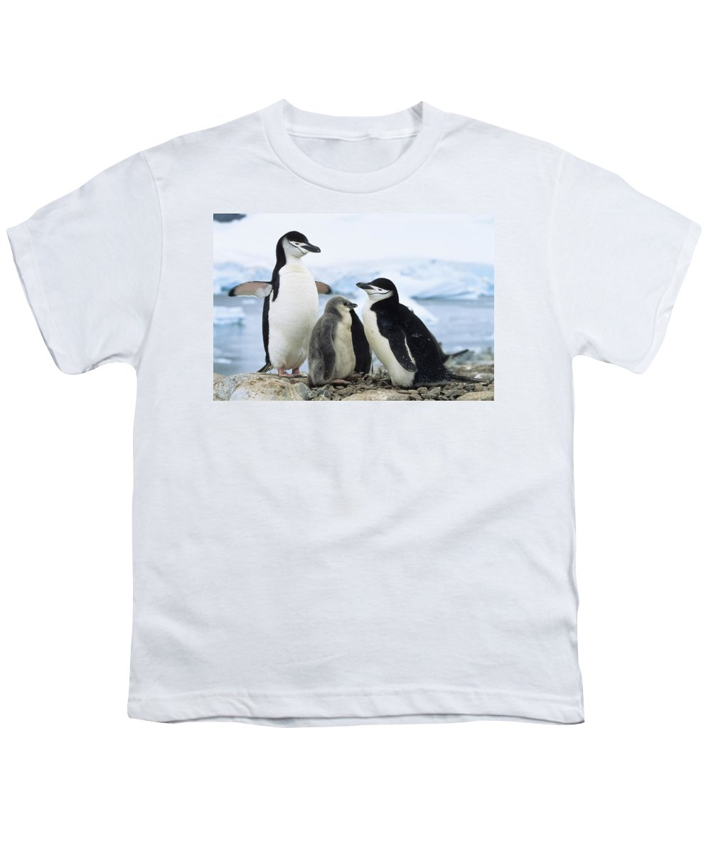 Feb0514 Youth T-Shirt featuring the photograph Chinstrap Penguins And Chicks Antarctica by Konrad Wothe