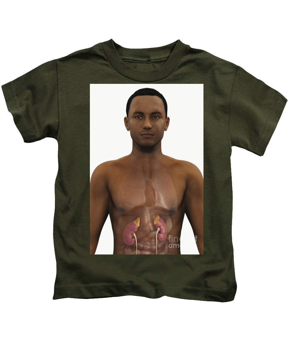 Biomedical Illustration Kids T-Shirt featuring the photograph The Kidneys by Science Picture Co