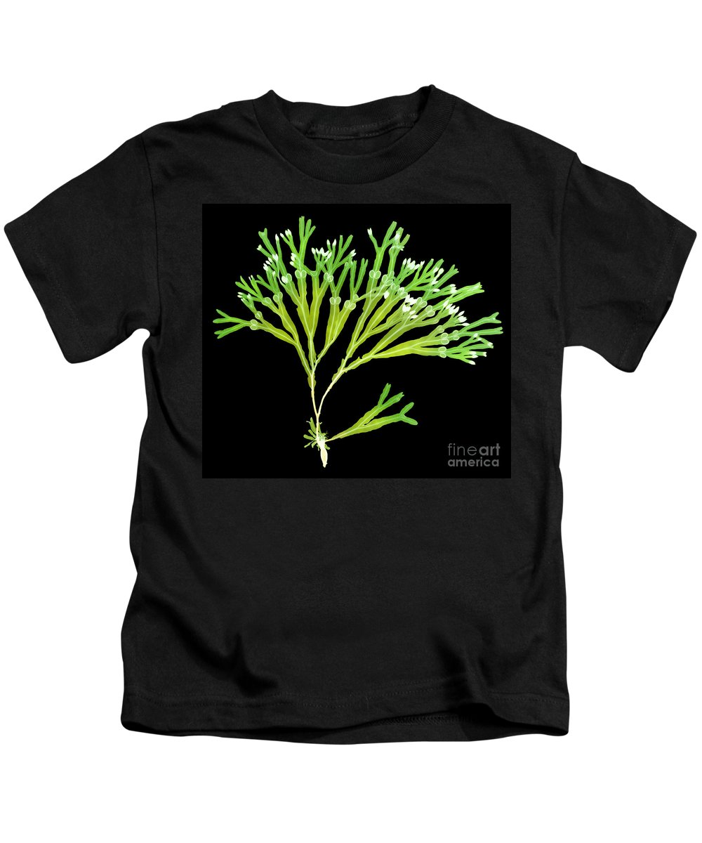 Science Kids T-Shirt featuring the photograph Rockweed Seaweed, X-ray by Ted Kinsman