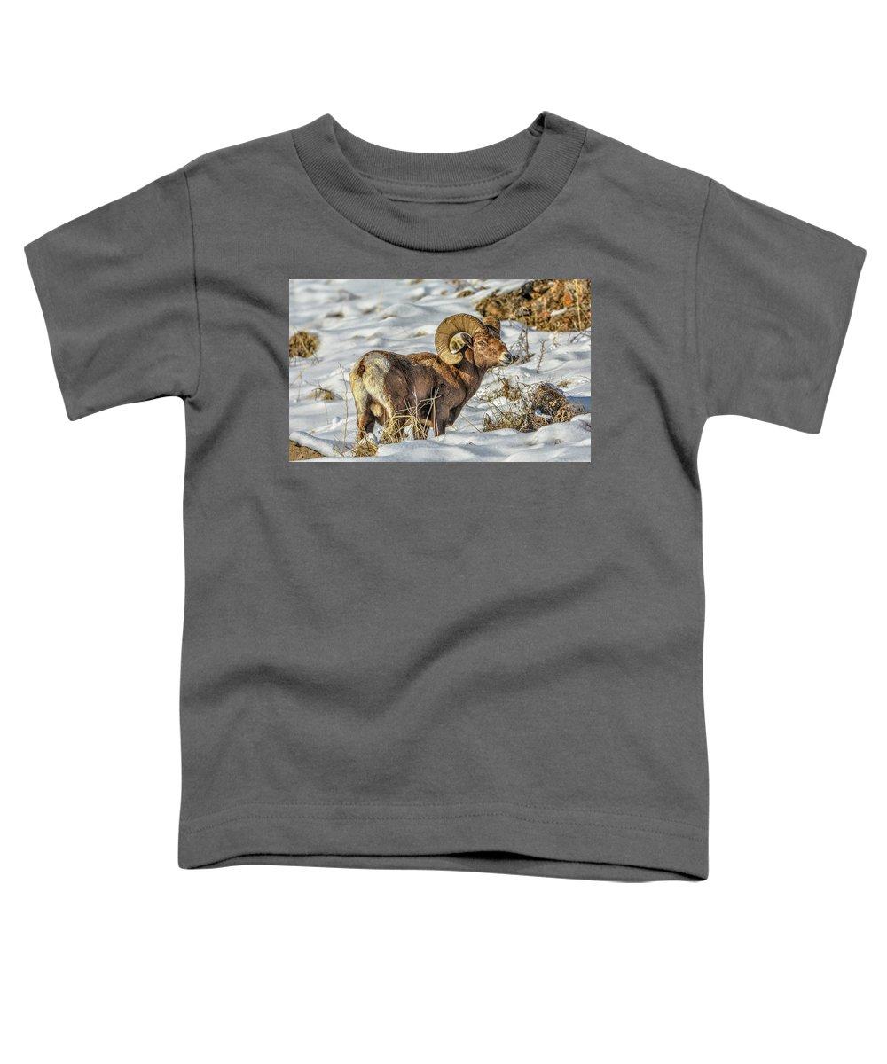Bighorn Ram Toddler T-Shirt featuring the photograph Wintering Bighorn by Jason Brooks