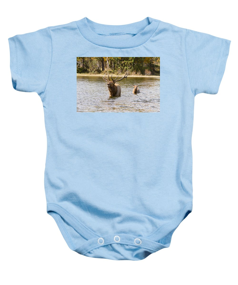 Elk Baby Onesie featuring the photograph Bugling Bull Elk And Calf Colorado Rut by James BO Insogna