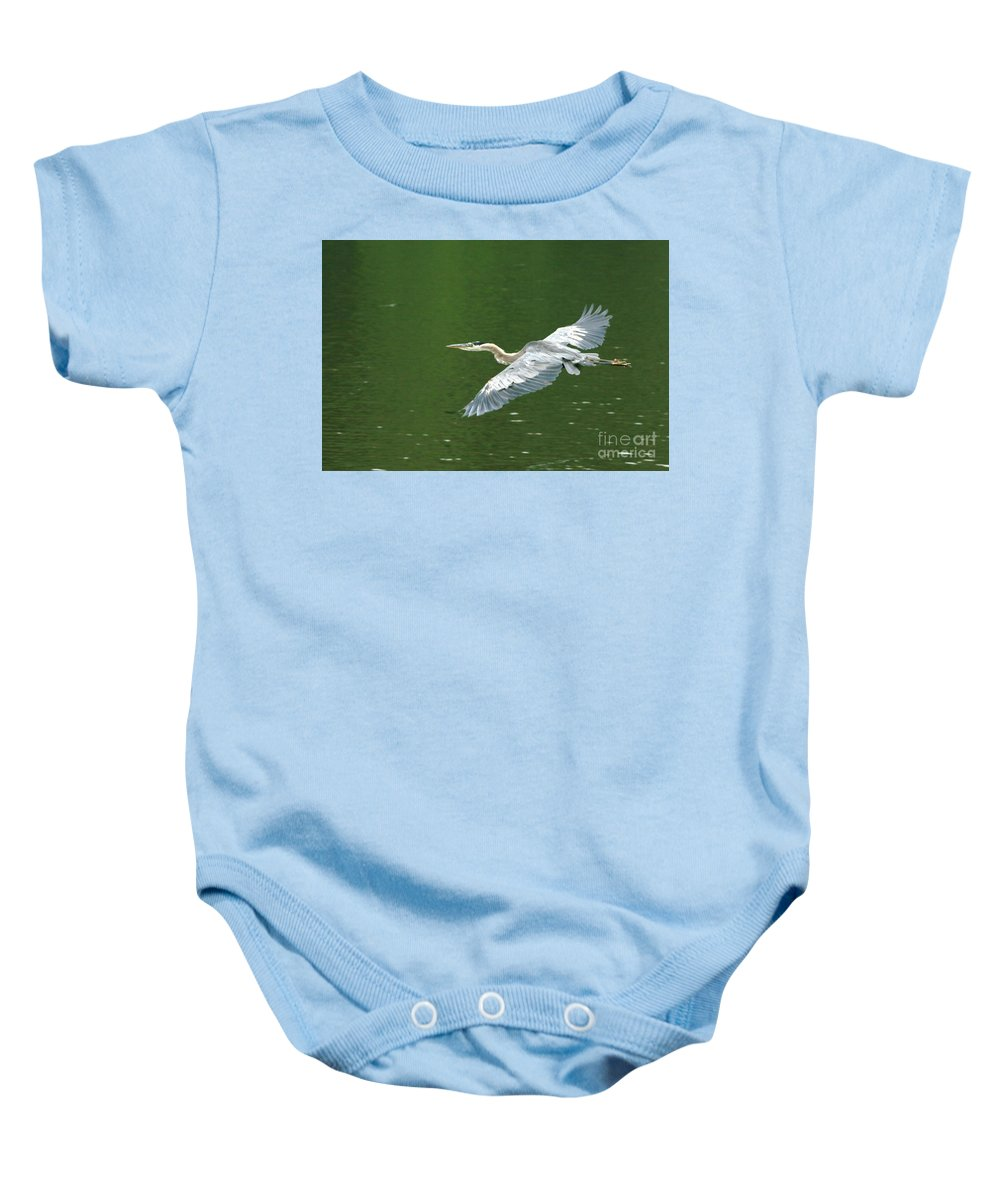 Landscape Nature Wildlife Bird Crane Heron Green Flight Ohio Water Baby Onesie featuring the photograph Young Great Blue Heron Taking Flight by Dawn Downour