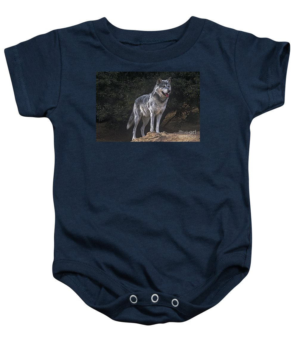 Gray Wolf Baby Onesie featuring the photograph Gray Wolf On Hillside Endangered Species Wildlife Rescue by Dave Welling