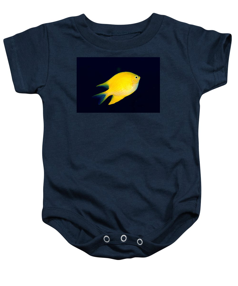 30-pfs0131 Baby Onesie featuring the photograph Golden Damselfish by Dave Fleetham - Printscapes