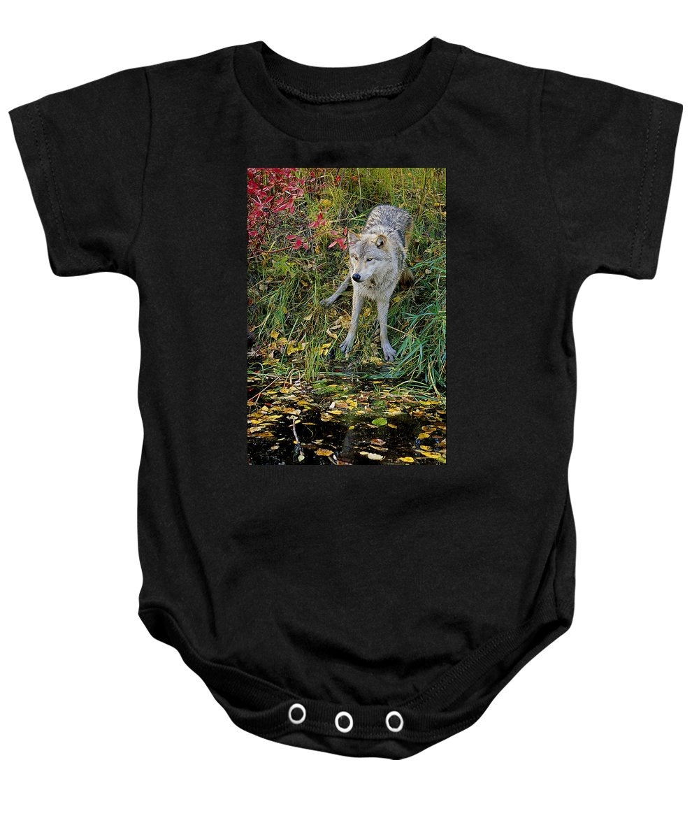 Wolf Baby Onesie featuring the photograph Gray Wolf Drinking by Eric Albright