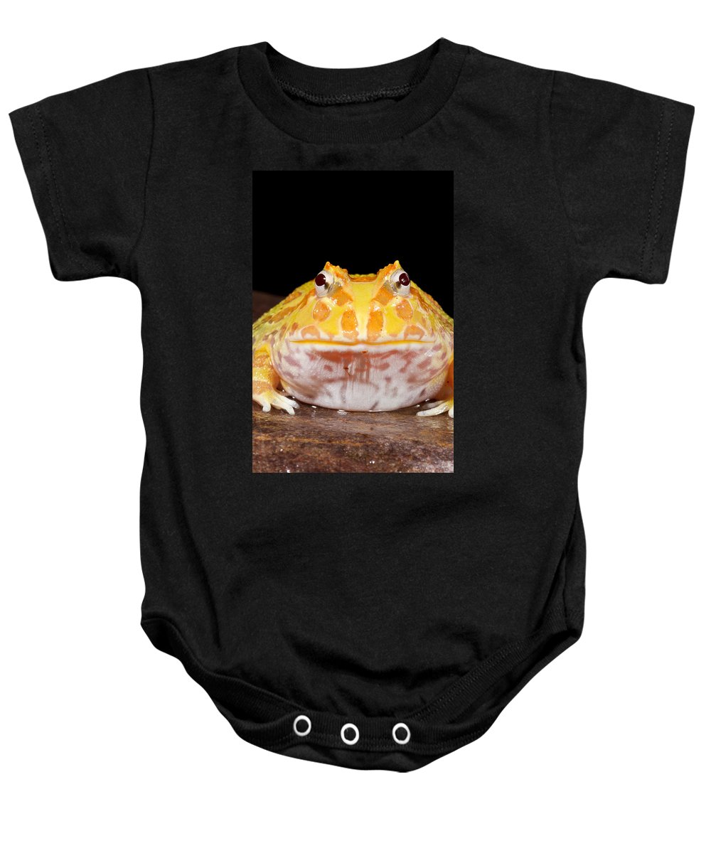 Chacoan Horned Frog Baby Onesie featuring the photograph Pac Man Frog Ceratophrys On A Rock by David Kenny