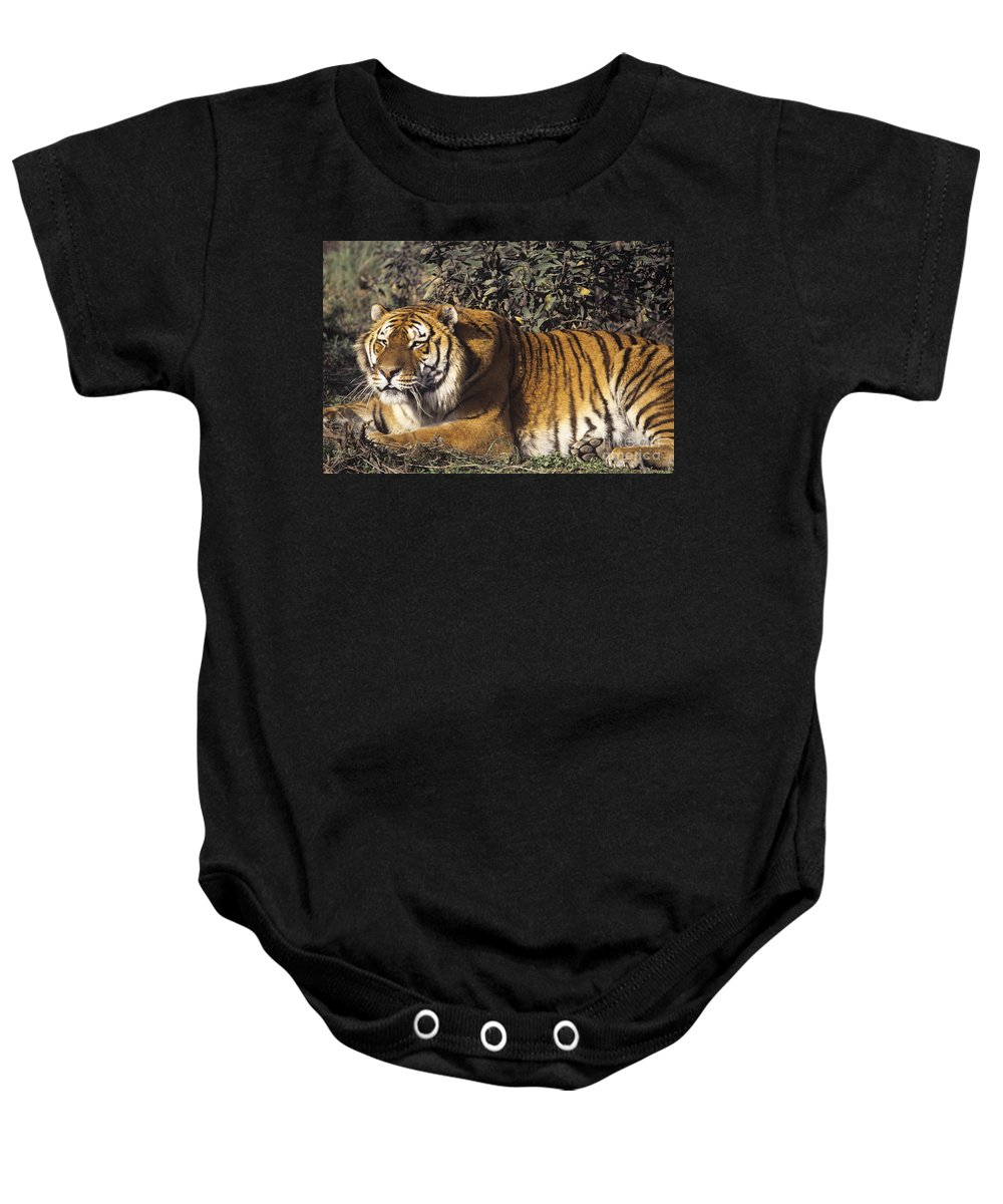 Siberian Tiger Baby Onesie featuring the photograph Siberian Tiger Stalking Endangered Species Wildlife Rescue by Dave Welling