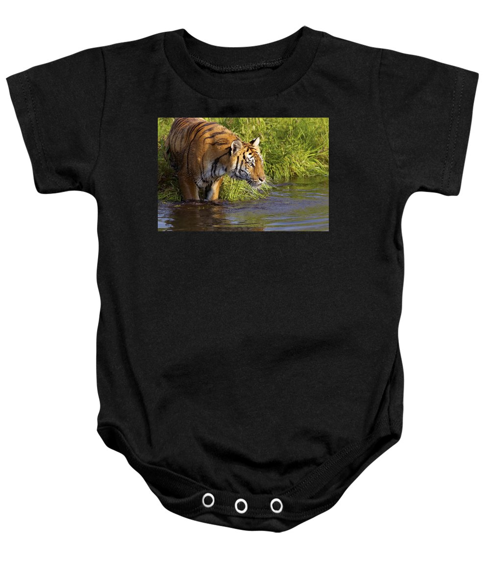 Outdoors Baby Onesie featuring the photograph Tiger Standing In Water by John Pitcher